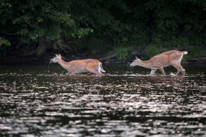 """Two whitetails play in the river as we drift by."""