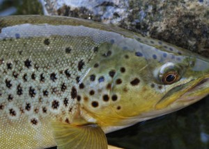 Big Browns become active in the fall.