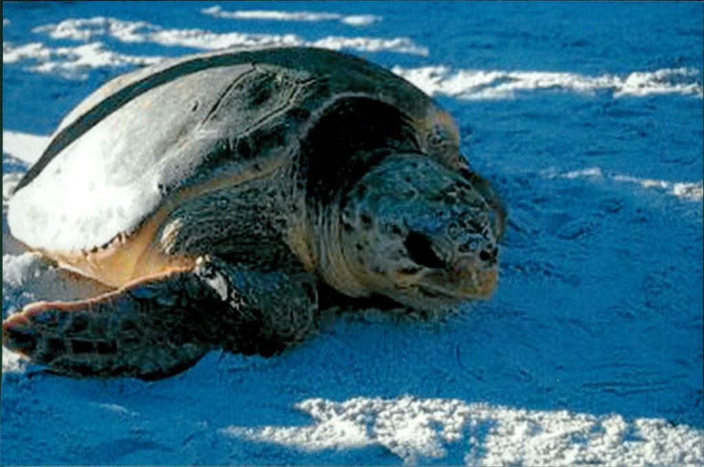 Loggerhead sea turtles return to Bald Head Island each summer to lay their eggs.