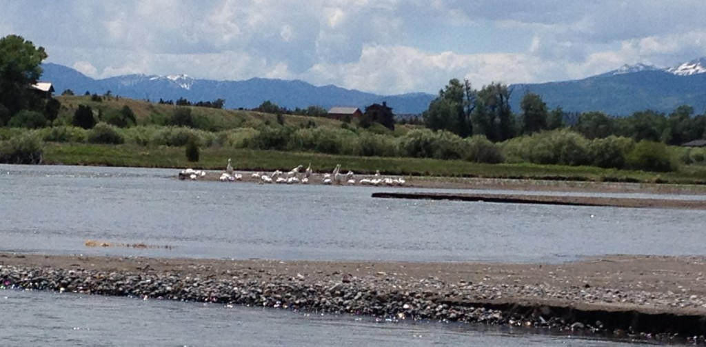 Pelicans hanging out in the Yellowstone watching boaters float by.