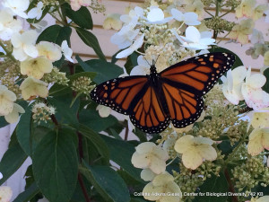 1-monarch_butterfly_collette_adkins_giese_Center_for_Biological_Diversity_FPWC